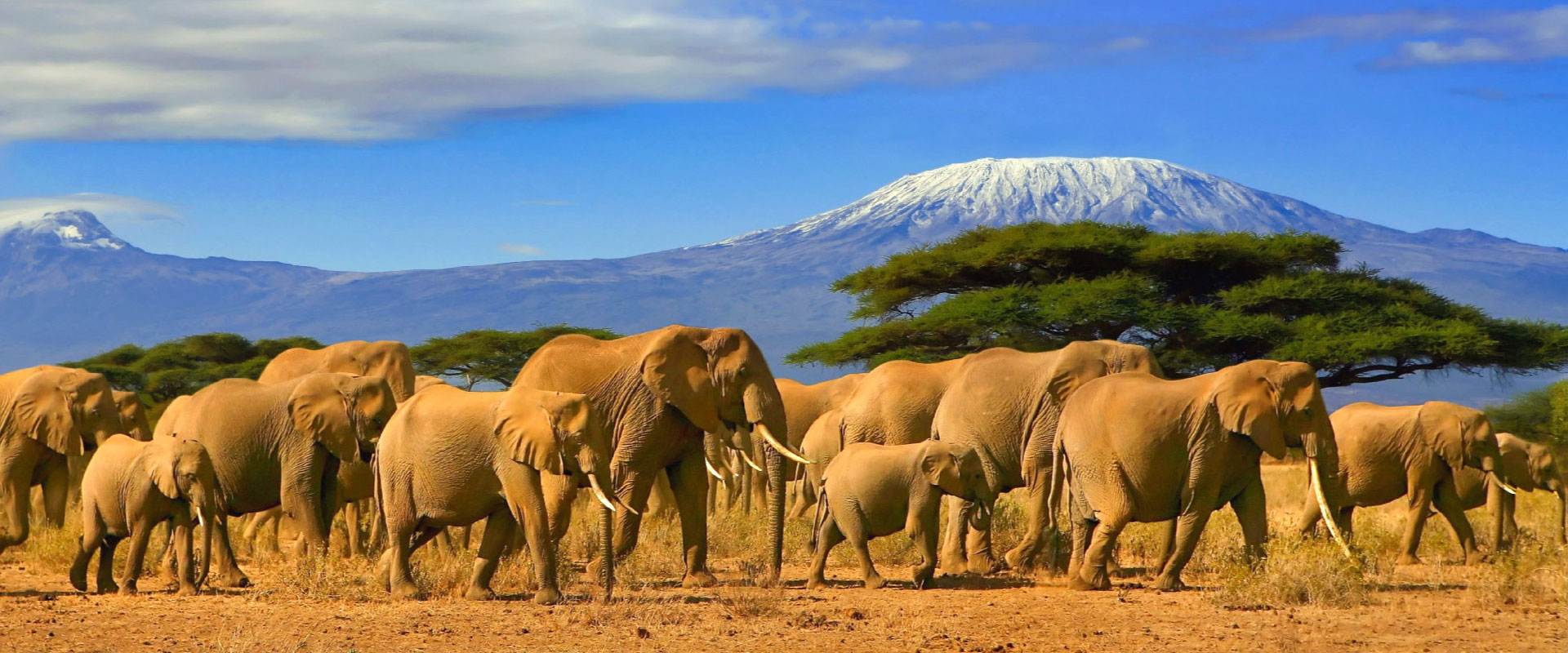 View of Mt. Kilimanjaro with herd of elephants in Tanzania
