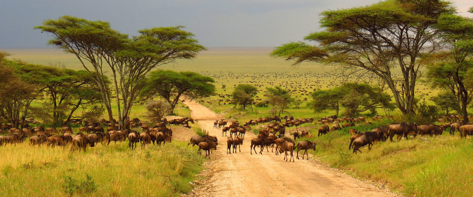 wildebeest in tanzania safari tour
