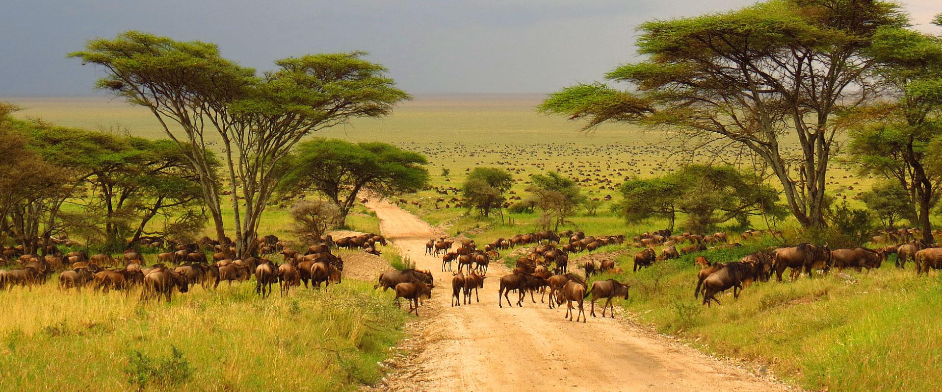 wildebeest in tanzania safari tour