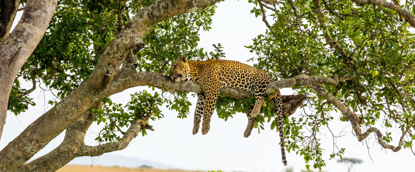 sleeping leopard in tanzania