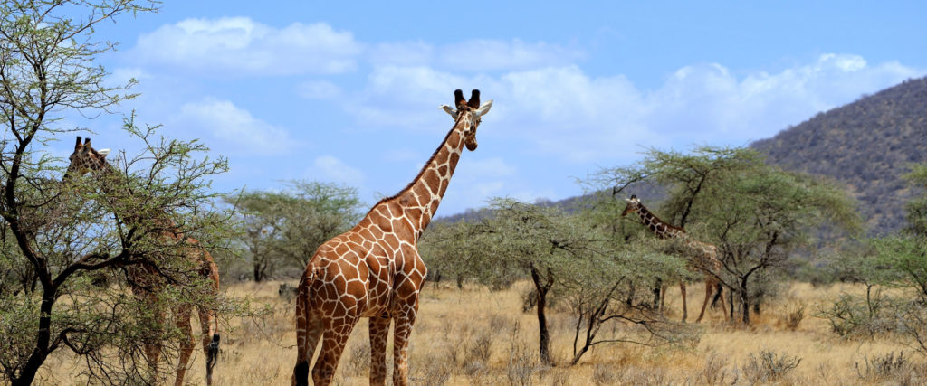 Giraffes in tanzania safari tour