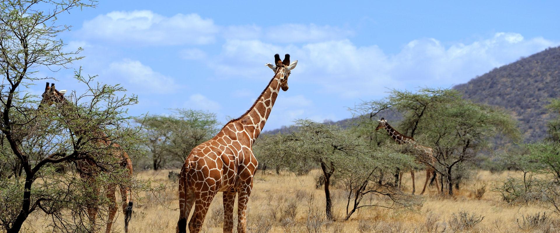 Giraffes in tanzania safari tour
