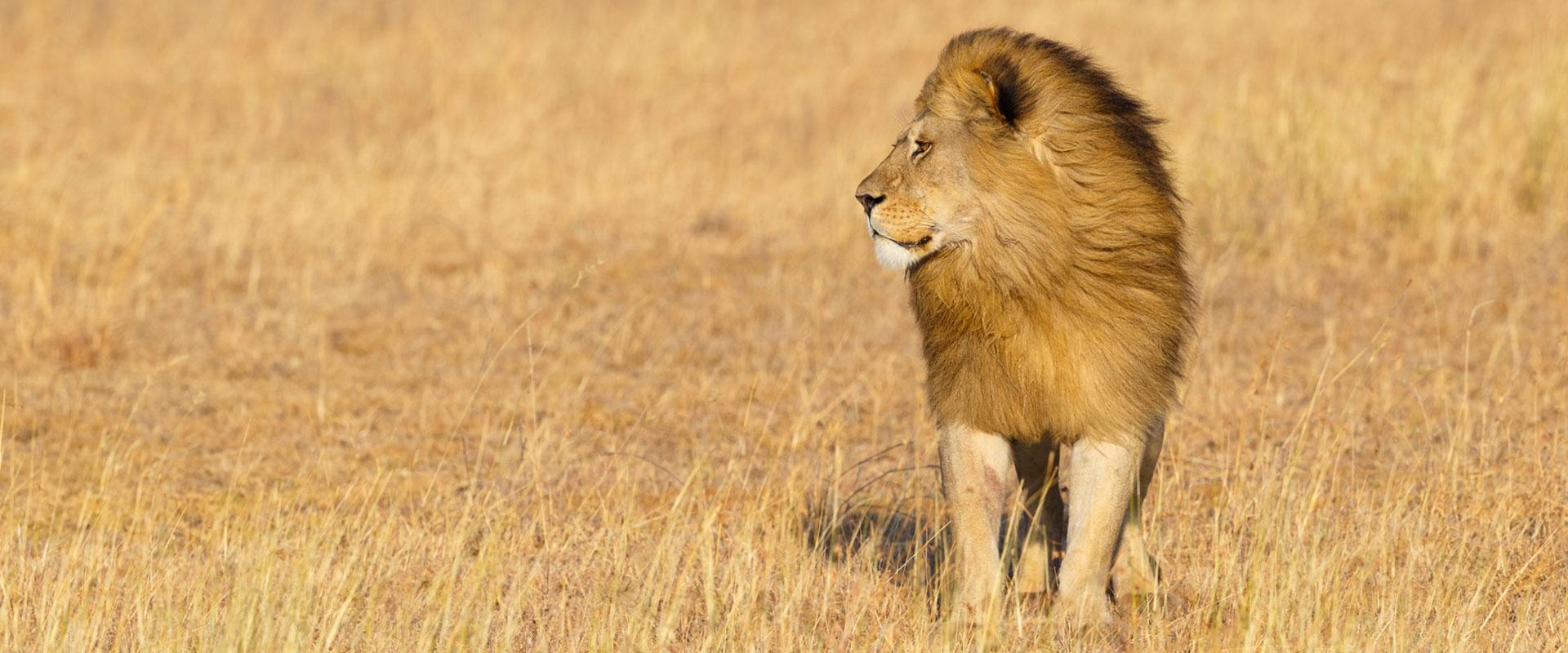 lion in tanzania safari tour